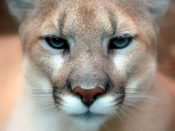 mountain lion.01